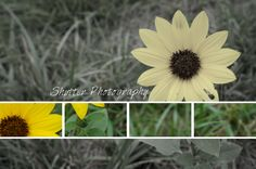 Just another flower - Shutter Photography Shutter Photography, Shutters, Dandelion, Flowers, Plants, Blinds, Shades, Window Shutters, Dandelions