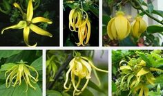 The Ylang-ylang tree belongs to the family Anonaceae. It is scientifically known as Cananga odorata. It is a strong tree that reaches a maximum height of about 65 feet. The tree is cultivated for its fragrant flowers which are used as garlands.