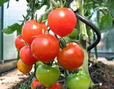 I august starter høstfesten i drivhuset for alvor Vegetables, Maj, Planter, Vegetable Recipes, Veggies