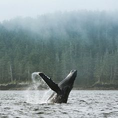 A Humpack whale putting on a show in Haida Gwaii. (photo: @sailanocean via Instagram) #exploreBC #explorecanada