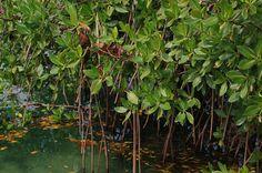 plantas de manglar - Google Search