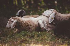 Sleeping Sheeps - http://www.splitshire.com/sleeping-sheeps/