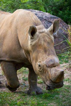 Animal Kingdom - Beep Beep, Rhino Walking | Flickr - Photo Sharing!