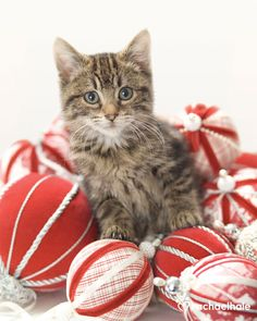 Beautiful kitten with Christmas ornaments. For More Christmas cats, visit https://www.facebook.com/funholidaycats