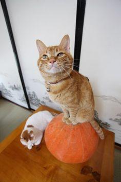 halloween cats meow