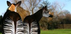 Do you know about the okapi? For #WildlifeWednesday we learn about this strange African herbivore. alive.com