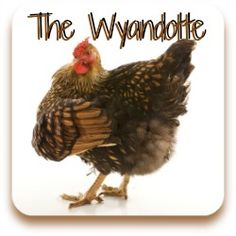 Click to see my article on the Wyandotte chicken breed.