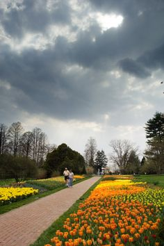 Orange and yellow tulips before a storm at Longwood Gardens