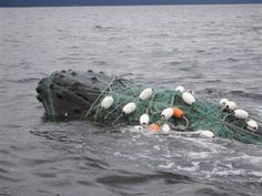 Crimes Against Marine Life Exhibit - humpback whale entangled in a gill net