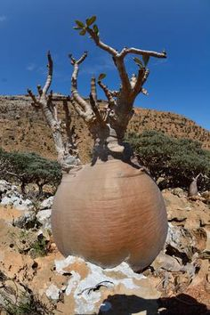 """Adenium - Photos of Homhil. This protected area, which is located in the northeastern part of Socotra island, is home to thousands of Adenium obesum socotranum, Dracena cinnabari, Euphorbia arbuscula and Dendrosicyos socotranus (cucumber tree), only to mention a few examples. This is an Adenium obesum socotranum having a particularly """"fat"""" stem."""