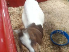 PT 122 JULY 2014 CANYON COUNTY FAIR. OUT OF FOCUS GOAT.