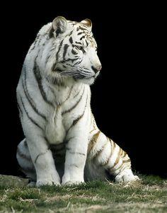 ~~ White tiger ~~