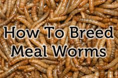 How to Breed Mealworms