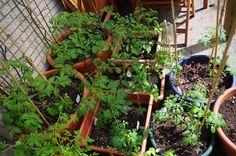 Mr. Greens Welt: Tomaten Update 01.Juni 2016