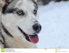 Photo about Grey white siberian husky portrait, female dog with blue eyes and sticking out tounge. Image of breed, snow, blue - 47793470 Photos For Sale, Stock Photos, White Siberian Husky, Large Dog Breeds, Dog Photos, Grey And White, Blue Eyes, Cute Dogs, Snow