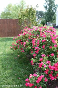 If you have a green or brown thumb you will love this Brown Thumb Gardener's Guide to Easy Roses. Knockout Roses are easy to care for and produce blooms! Pruning Knockout Roses, Pruning Roses, Easy Garden, Lawn And Garden, Garden Bed, When To Prune Roses, Beautiful Gardens, Beautiful Flowers, Rose Hedge