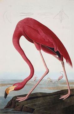 1. John-James Audubon (1785-1851)  Flamant rose, 1838  dans The Birds of America : from original drawings,   tome IV, 1838  Eau-forte, aquatinte et aquarelle sur papier  Paris, Muséum national d'Histoire Naturelle  Photo : RMN-GP/Agence Bulloz