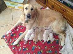 Golden retriever pups south wales
