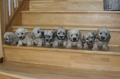 8 Dandie Dinmont puppies - Cuteness!!!