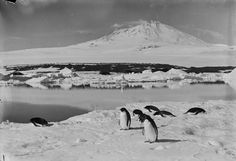 Erebus with Adleie (sic) penguins on ice in foreground and open water near the grotto berg. Jan. 5th 1911. -- High quality art prints, framed prints, canvases -- SPRI Prints