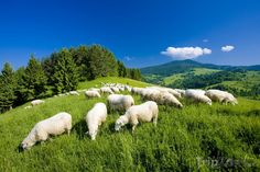 Find Sheep Herd Mala Fatra Slovakia stock images in HD and millions of other royalty-free stock photos, illustrations and vectors in the Shutterstock collection. Thousands of new, high-quality pictures added every day. Sheep, Photo Editing, Royalty Free Stock Photos, Wildlife, Poster, Pictures, Outdoor, Animals, Image