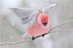 The pine grosbeak (Pinicola enucleator) is a large member of the true finch family...