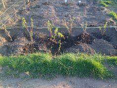My raspberry plants