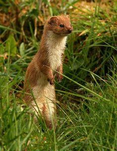 weasel - Google Search