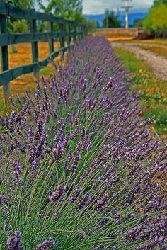 Driveway Lining - Lavendar---- Planting my lavender so it will line my our property next year... and the plus side? Well, it deters flies, smells good, and I can use it in the chicken coop and/or house as a natural scent!