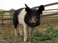Lucas is a rescued hampshire pig at Farm Sanctuary. He's the handsomest pig I ever did see.