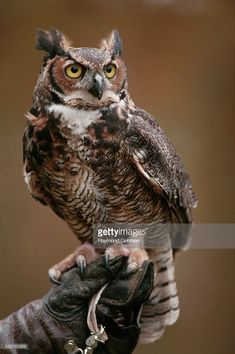 Great Horned Owl in Captivity Stock Photo Owl Photos, Owl Pictures, Beautiful Owl, Animals Beautiful, Owl Bird, Pet Birds, Animals And Pets, Cute Animals, Flora Und Fauna