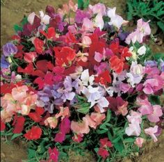 Non climbing sweet pea growing to by Ideal for pots and hanging baskets that get at least 6 hours of sun. Highly fragrant flowers in spring. Moonflower Vine, Sweet Pea Seeds, Dwarf Plants, Lower Lights, My Flower, Flowers, Balcony Plants, Sandy Soil, Cold Frame