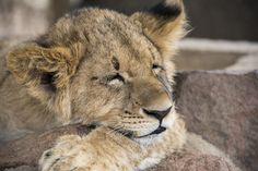 Lion Cub, Tigers, Mammals, Cubs, Lions, Families, Park, Lion, Bear Cubs