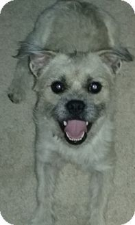 Clear Brook, VA - Poodle (Miniature)/Pug Mix. Meet Teddy, a dog for adoption. http://www.adoptapet.com/pet/16730707-clear-brook-virginia-poodle-miniature-mix