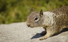 Given the presentation yesterday by Apple and the PR this little california ground squirrel got, I thought I should publish my own pictures of him taken at the top of the Yosemite national park. He gladly posed for pictures.