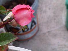 Mini rosa.
