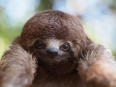 A friendly sloth. National Geographic