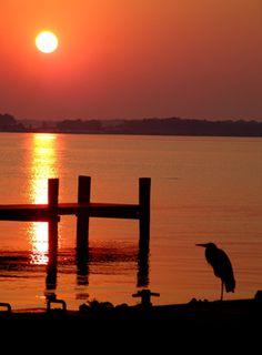 A heron enjoys easy fishing during high tide. Chesapeake Bay