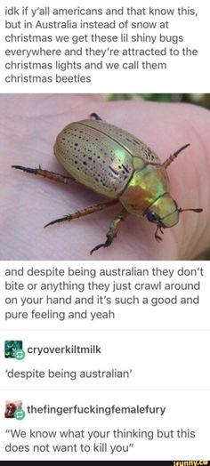 Australian Christmas, a time for shiny bugs who aren't poisonous, vememous or trying to eat all your crops