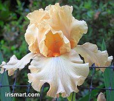 TB Iris Mango Daiquiri - Blyth 05