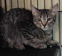 Meet Aria, an adoptable Tabby (Brown) looking for a forever home. If you're looking for a new pet to adopt or want information on how to get involved with adoptable pets, Petfinder.com is a great resource.
