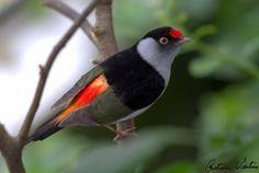 Aves Catarinenses - Informações sobre a Ave Tangarazinho
