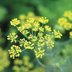 Dill: To be sure you have a constant supply on hand, sow seeds every four weeks during the growing season.