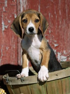 Reminds me of my puppy that died in 2010 on xmas eve... i miss her :( this picture is so cute! Beagle Dog Puppy, Art Beagle, Beagle Mix, Snoopy Beagle, Cute Puppies, Cute Dogs, Dogs And Puppies, Doggies, Toy Dogs