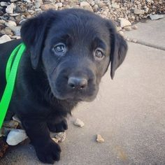 And there's really nothing more adorable than a Lab puppy… | 27 Reasons Labradors Are The Best Creatures In The Galaxy