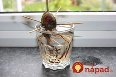 Here& How To Grow An Avocado From An Avocado Core. - Avocado seed with root in a glass of water by the window Best Picture For avocado art For Your Ta - Growing Herbs, Growing Vegetables, Fruits And Vegetables, Apple Tree From Seed, Growing An Avocado Tree, Comment Planter, Backyard Plan, Edible Garden, Gardening