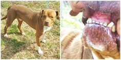 #150578 Pit Bull 5+ yr old -Neutered- Male *Canines and incisors filed down* Intake 3-2-15  Available 3-9-15  *60-70lbs *Very friendly  *Walks well on a leash — with Maria Battle at Clayton County Animal Control , 1396 Government Cir., Jonesboro, Ga 30236, 770-477-3509.