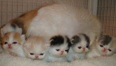 Exotic cat kittens