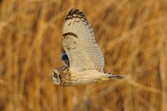 Very Close ! , Short-eared Owl by Mubi.A