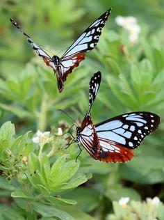 「旅するチョウ」として知られるアサギマダラが、大分県姫島村で群舞している。今年は4月30日に初飛来し、5月22日からは1千匹ほどが島北部の「みつけ海岸」に咲くスナビキソウと戯れるように舞っている。今後、ピークは過ぎるが6月上旬ごろまで飛来は続くという。(金子淳)